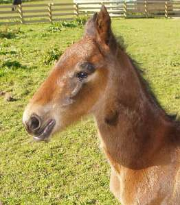 The Blue Lotus as a foal