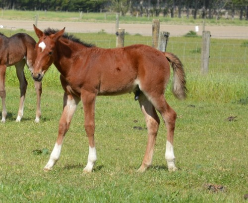 Tintin In America x Titled colt foal 2013
