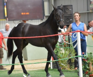 Lot 36 Panspacificflight out of Sir Vancelot mare Scherger Rein was the top priced yearling from the sire at the 2014 Christchurch