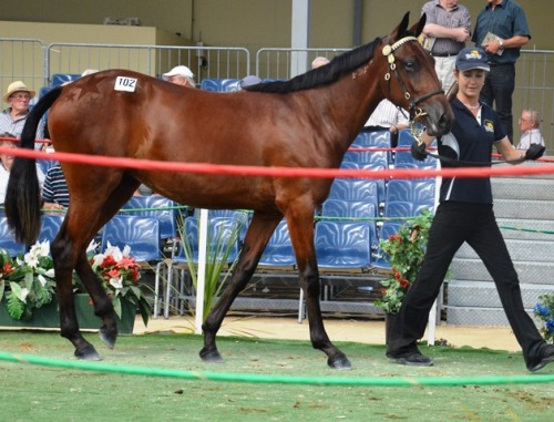 Lot 102 Christchurch, a lovely Shark Gesture filly from an In the Pocket mare,  sold for $11,500