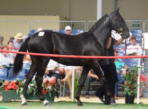 Santanna Blue Chip yearling colt