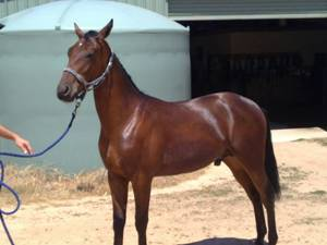 Intransit as yearling