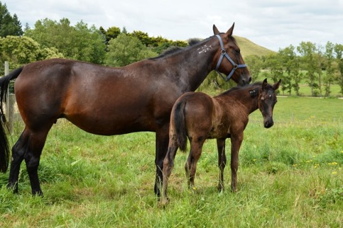The Blue Lotus with her Shadow Play colt 31 December 2014