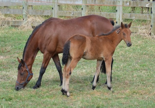 Sun Isa and her Pegasus Spur filly foal