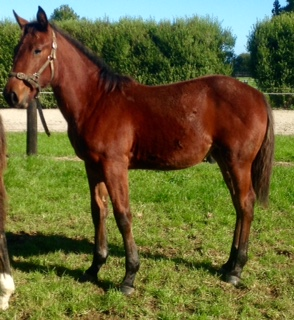 Tintin In America x Westerly Wind weanling filly