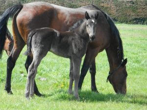 Dreamy Romance and her Big Jim filly foal at Macca Lodge