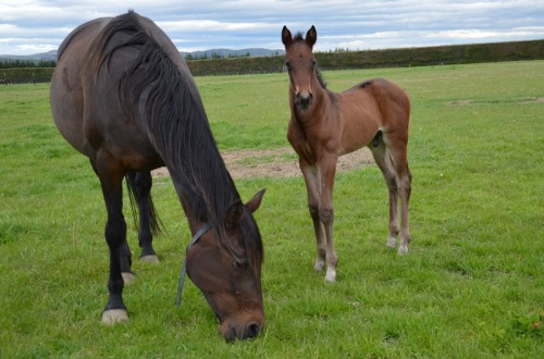 Nostalgic Franco and her Tintin In America colt foal at Macca Lodge
