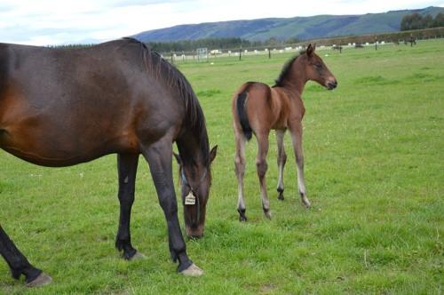 Tintin In America colt foal 2015